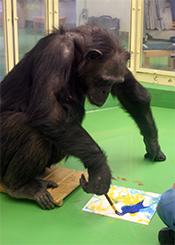 絵を描くアイ(チンパンジー)