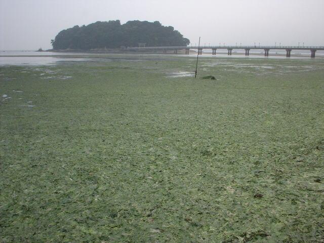 富栄養化により竹島海岸で大量発...